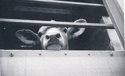 Compassion-in--world-Farming-cow